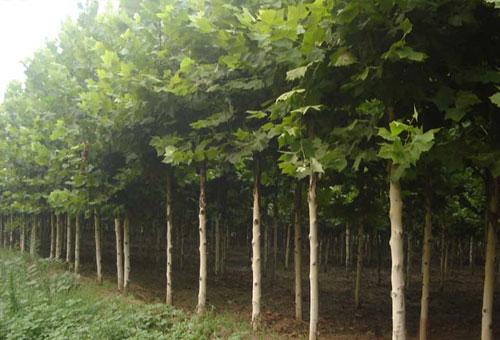 首页 绿化苗木 供应绿化苗木法桐树  上一条:北京绿