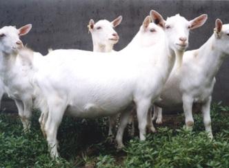 供应育肥肉羊肉羊羔波尔山羊白山羊种羊