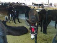 育肥肉驴三粉驴乌头驴种驴肉驴品种图片