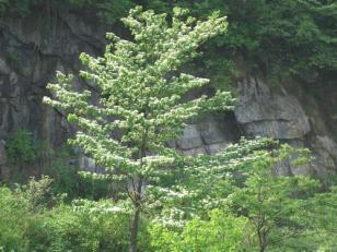 山茱萸科灯台树大苗图片