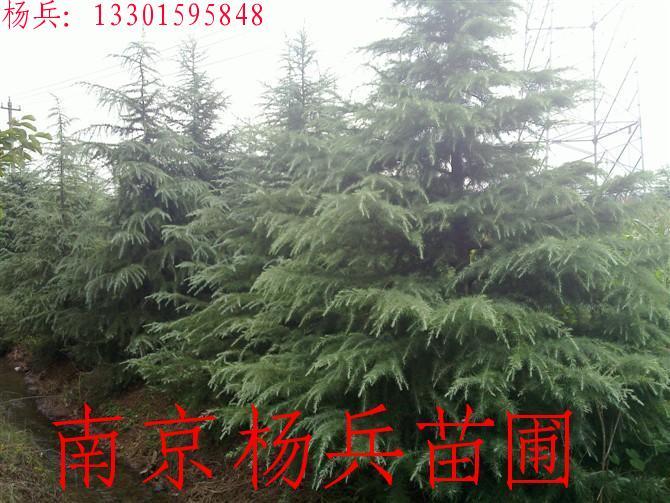 雪松树顶视图素材