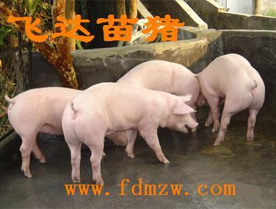 供应苗猪低价卖最新仔猪供求信息查询苗猪三