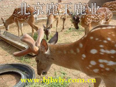 供应梅花鹿的生活习性