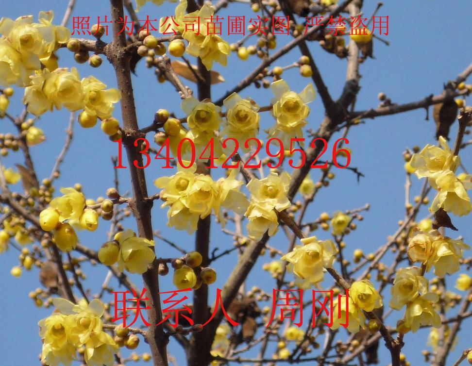 供应苏州腊梅花图片