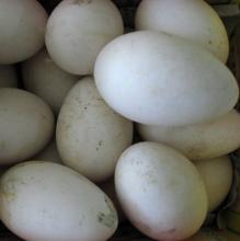 供应鸭蛋鸭蛋价格鸭蛋行情鹅蛋价格鹅蛋批发
