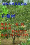 山楂树品种图片