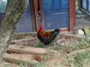 灵山土鸡鸡苗图片