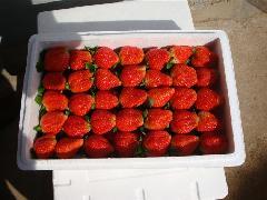 供应2011年春节草莓