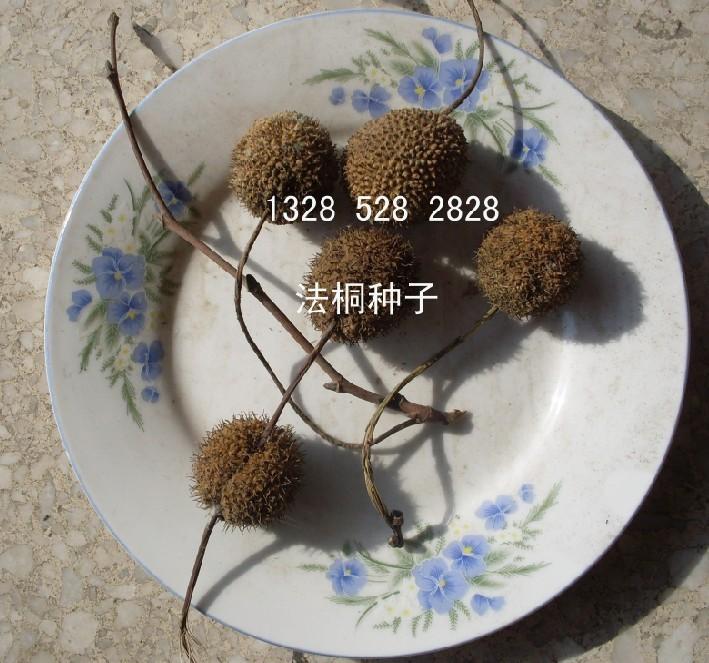 供应林木种子法桐种子