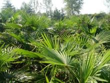 供应棕榈种子