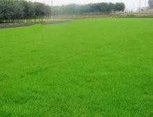草坪 南京从价格--草坪报价