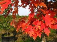 美国红枫苗图片