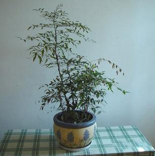供应红天竹