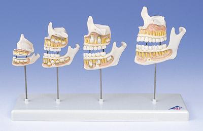 k17194牙齿成长过程模型报价