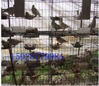 供应肉鸽笼鸽笼厂家