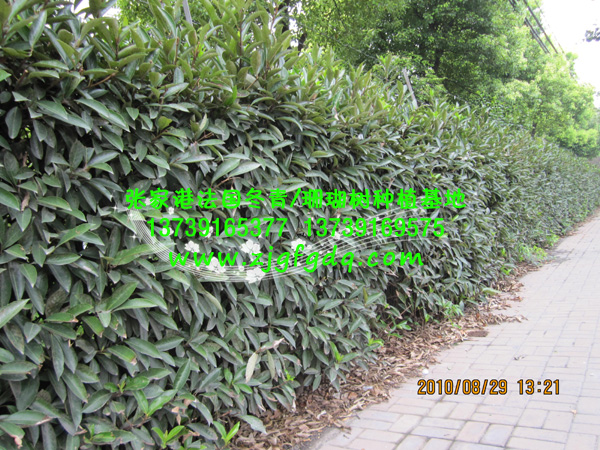 法国冬青绿篱植物报价