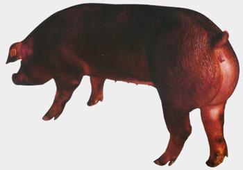 河南仔猪交易市场_杜洛克_杜洛克供货商_供应杜洛克母猪_杜洛克价格_一呼百应