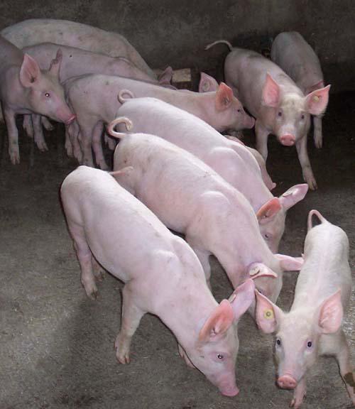 二元母猪图片 二元母猪样板图 二元母猪 获嘉县德龙养猪专业合作社