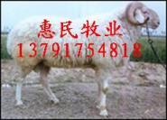 肉羊种公羊小尾寒羊波尔山羊价格图片