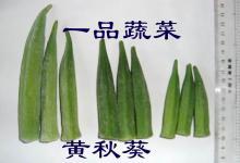 供应种子-黄秋葵种
