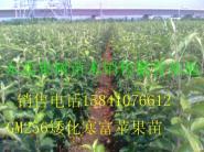 辽宁苹果苗-123苹果苗图片
