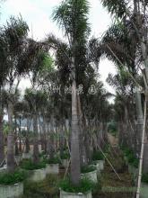 供应漳州棕榈类狐尾椰子基地