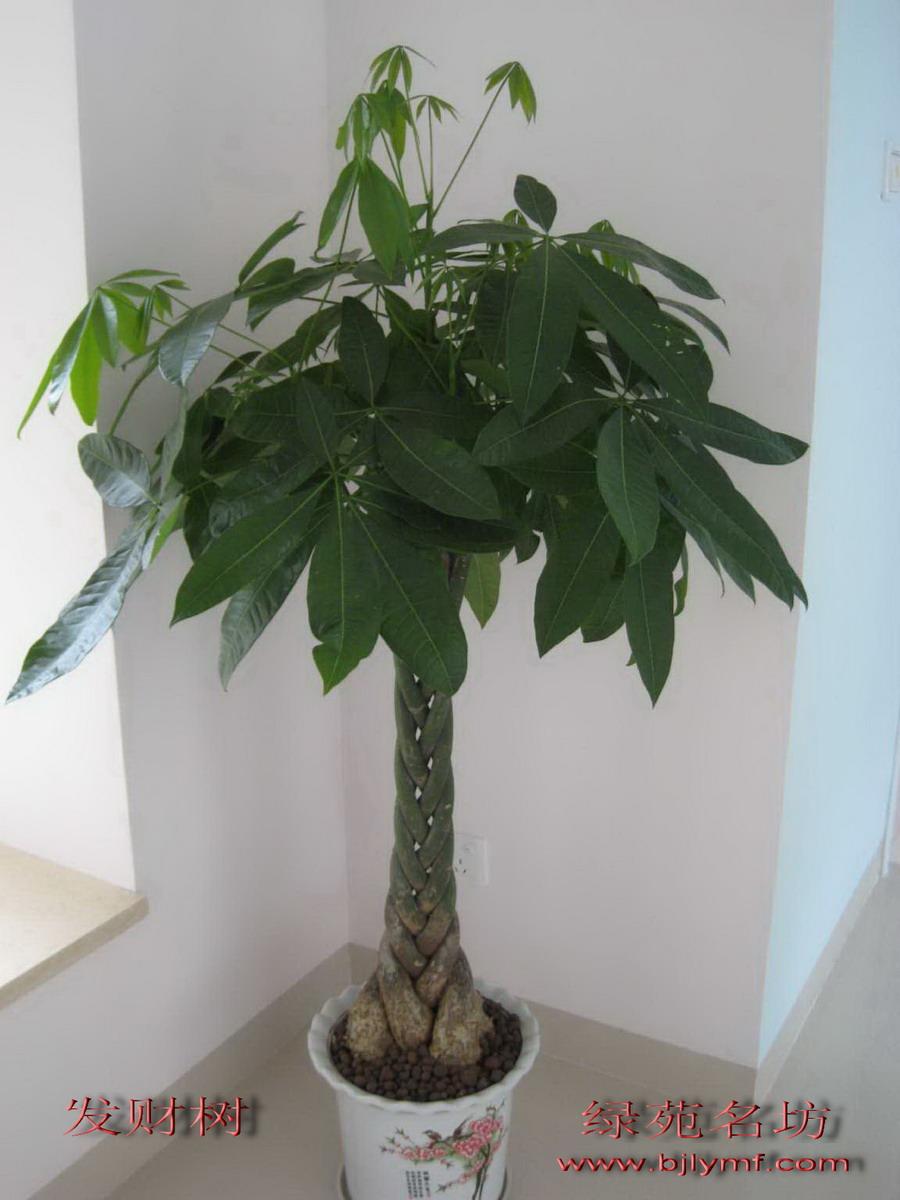 修剪 发财 树 的 图片 图片 请求 指点 发财 树