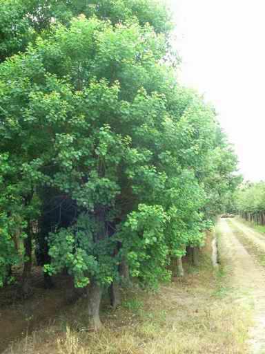 供应乌桕树批发乌桕25公分价格乌桕树