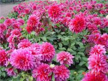 甘肃大丽花种球以及大丽花的颜色