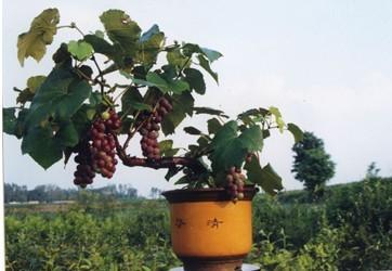 山东龙河湾果树盆景基地生产供应盆栽葡萄