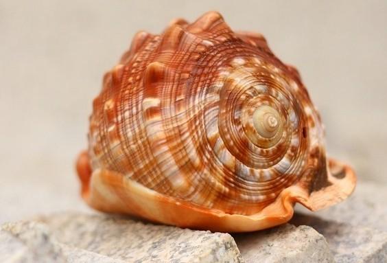 时尚海螺贝壳生产供应万宝螺世界四大名螺