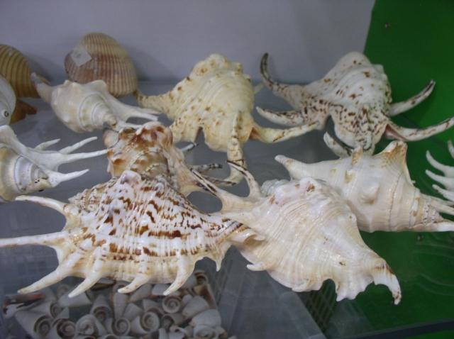 供应水字螺海洋风家居装饰创意礼品收藏