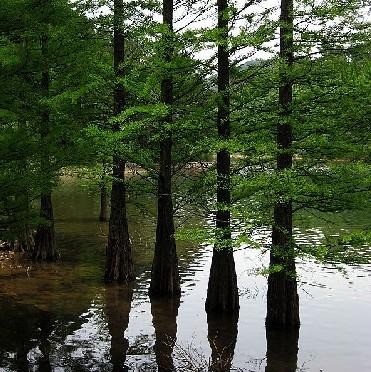 水杉树有什么作用图片_水杉树有什么作用图片大全_树