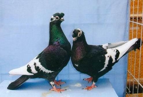 观赏鸽子品种大全_鸽子品种大全图片 _排行榜大全
