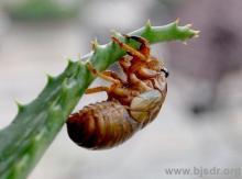 养生珍品 野生金蝉纯野生金蝉