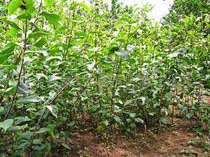 供应梨树苗种植园图片