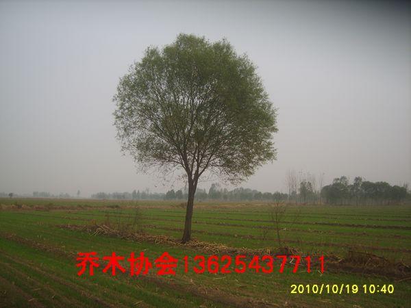 馒头柳20公分馒头柳25公分柳树图片