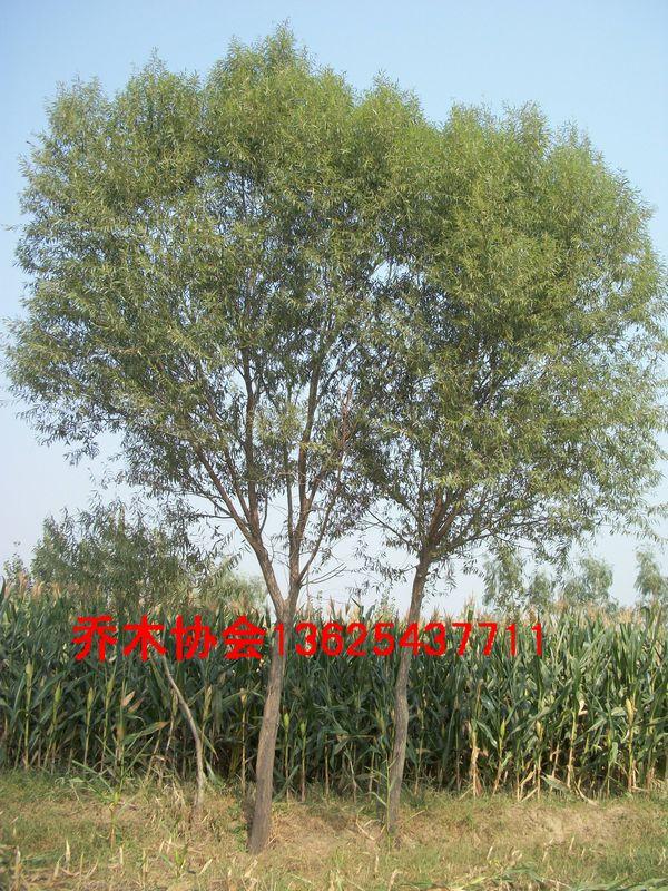 供应馒头柳20公分馒头柳25公分柳树