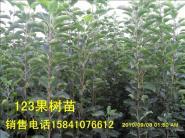 北京123果树苗-李子苗图片