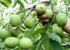 山西123苹果苗图片