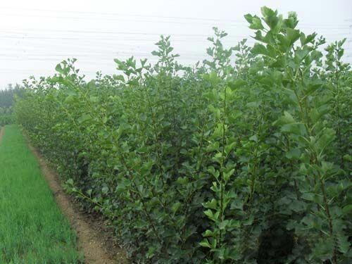 供应梨树苗施肥技术图片
