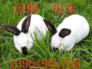 供应肉兔价格