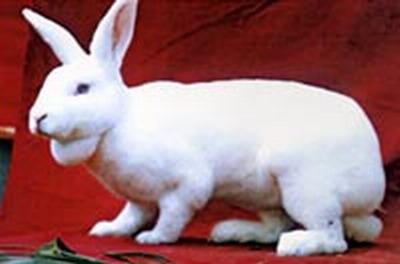 供应国内獭兔品种及价格