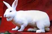 纯种德系獭兔价格图片
