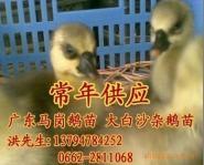 广东马岗鹅苗阳江大白沙杂鹅苗图片