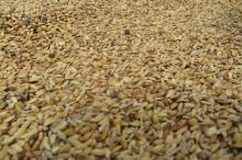 供应优质稻谷稻谷供应厂家