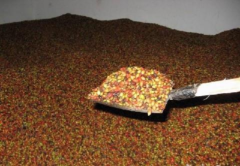 求购红叶小檗种子,红瑞木种子种子等各种花卉苗木种子请找双赢苗木批发