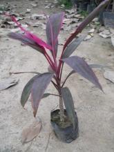 供应福建灌木朱蕉