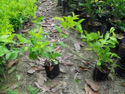 供应常绿灌木黄金叶价格