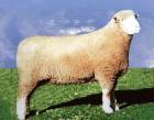 黑头山羊养殖,黑头山羊价格,黑头山羊厂家批发